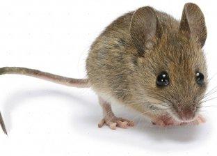 عقب وفاة شاب بالبساتين بسببه.. طرق اقتصادية للتخلص من الفئران بالمنزل