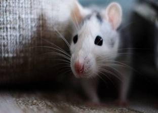 الفئران المنزلية