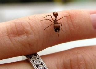 فوائد لدغة النمل