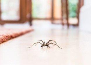 عناكب البيت