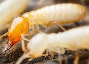 طرق التخلص من النمل الأبيض