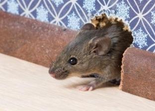 5 أسباب لدخول الفئران المنازل