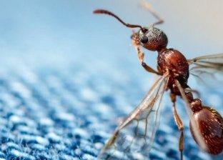 قرص النمل