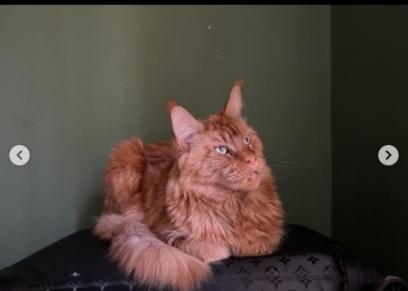 القط الأسد المفقود