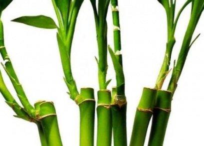 عشب الخيزران علاج سريع يحارب تجاعيد البشرة
