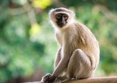 فيروس القرد