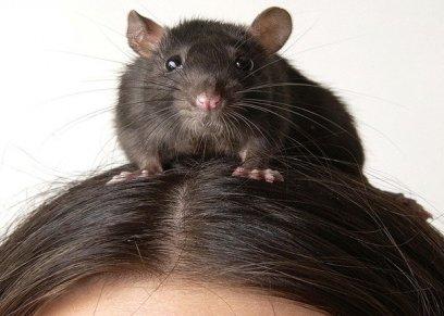 فأر منزلي يعض و