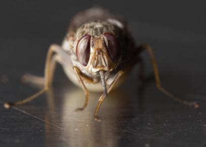مرض النوم ينتقل عن طريق لدغة ذبابة الـ