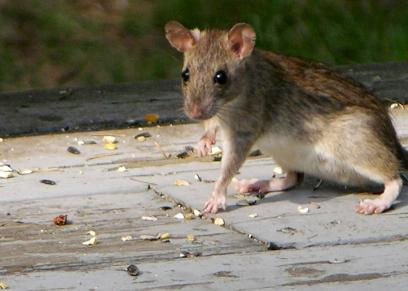 طرق التخلص من الفئران