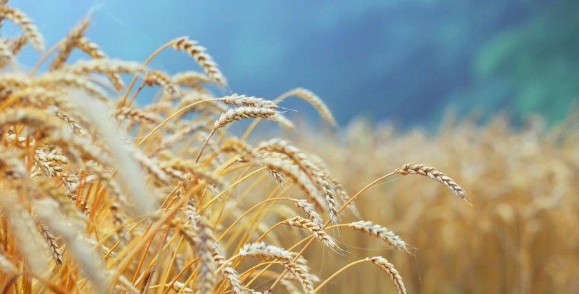 فوائد جنين القمح تجعلك تتناوله يوميا