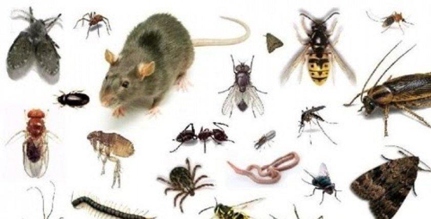 الحشرات المنزلية